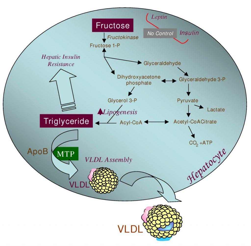 metabolismo del fruttosio